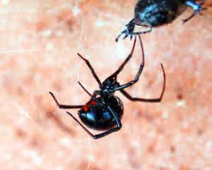 black-widow-spider
